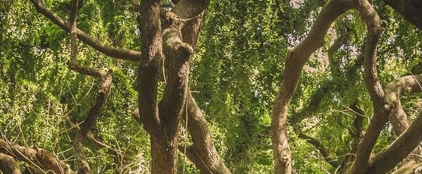 Banner - Old tree